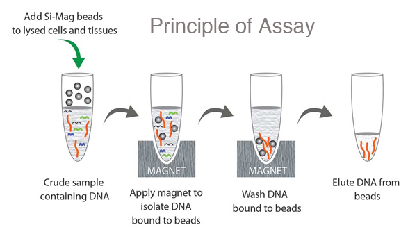 embryo magnetic products enrichment beads ptmscan chart cst nonredundant captured peptides tryptic fe imac phospho from nta and proteomic generated mouse using analysis